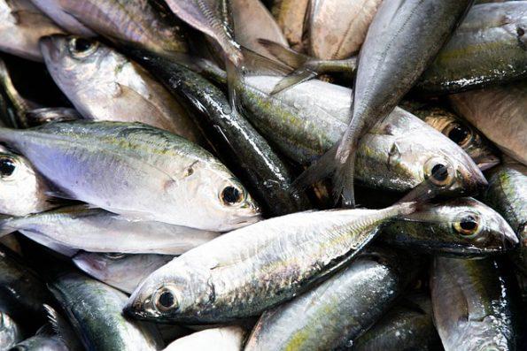 ciri ciri ikan tuna