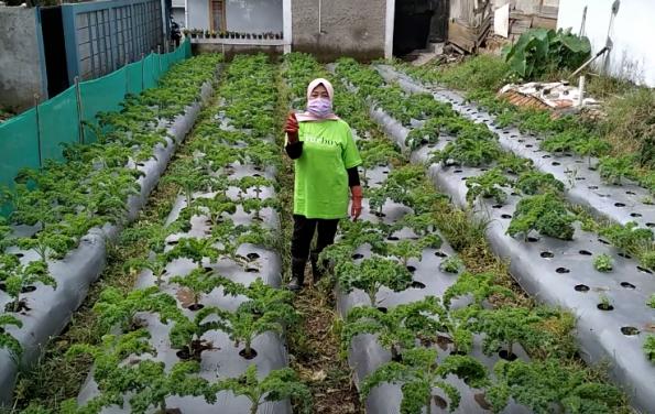 cerita petani sayurbox